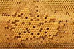 Προνύμφες κυττάρων των μελισσών όλων των ηλικιών Μελισσοκομία Στοκ Εικόνα