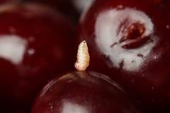 Προνύμφη ενός σκουληκιού σε ένα κεράσι Στοκ Εικόνες