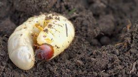 Προνύμφη ζωύφιου Μαΐου στο χώμα απόθεμα βίντεο