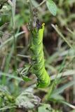Προνύμφη lachesis Acherontia στοκ φωτογραφίες