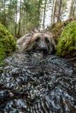 Προοπτική βατράχων ενός σκυλιού που παίρνει ένα λουτρό σε ένα μικρό ρεύμα Στοκ Φωτογραφία