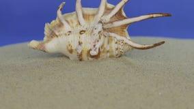 Προσέγγιση του θαλασσινού κοχυλιού που βρίσκεται στην άμμο απομονωμένος φιλμ μικρού μήκους