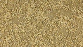 Προσέγγιση των σιταριών κριθαριού μαργαριταριών που διασκορπίζεται burlap φιλμ μικρού μήκους