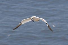 προσέγγιση gannet Στοκ Φωτογραφίες