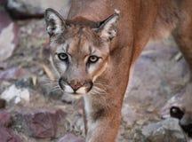 Προσέγγιση Puma Στοκ Φωτογραφία