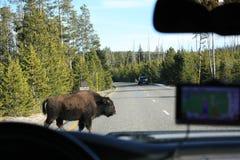 Προσέξτε το Buffalo Στοκ φωτογραφίες με δικαίωμα ελεύθερης χρήσης