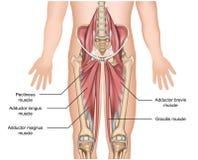 Προσαγωγός τρισδιάστατη ιατρική απεικόνιση ανατομίας μυών στο άσπρο υπόβαθρο διανυσματική απεικόνιση