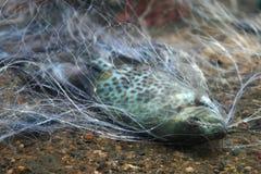 Προσαραγμένα ψάρια στο δίχτυ του ψαρέματος Στοκ Εικόνες