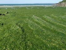 Προσαραγμένο πράσινο Overgrowth φυκιών στην ακτή της Βρετάνης στοκ εικόνες