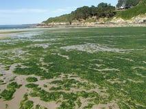 Προσαραγμένο πράσινο Overgrowth φυκιών στην ακτή της Βρετάνης στοκ φωτογραφία με δικαίωμα ελεύθερης χρήσης