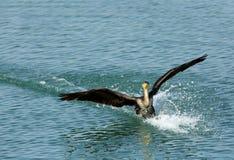 Προσγείωση του μεγάλου κορμοράνου με τον παφλασμό του νερού Στοκ φωτογραφία με δικαίωμα ελεύθερης χρήσης