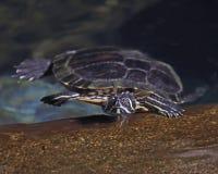 Προσγείωση χελωνών Στοκ φωτογραφία με δικαίωμα ελεύθερης χρήσης