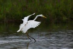Προσγειωμένος μεγάλα άσπρα alba φτερά egretta τσικνιάδων, πόδια στο W Στοκ Φωτογραφία