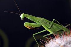 Προσεηθείτε για τα mantis στοκ φωτογραφίες με δικαίωμα ελεύθερης χρήσης