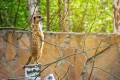 Προσεκτικά meerkats που στέκονται τη φρουρά Στοκ φωτογραφία με δικαίωμα ελεύθερης χρήσης