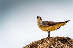 Προσεκτικός γλάρος Στοκ Εικόνες