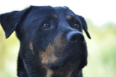 Προσεκτικό και σοβαρό σκυλί rottweiler Στοκ Εικόνες