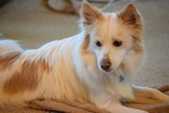 Προσεκτικό σκυλί perks επάνω, προσέχοντας το δωμάτιο στοκ εικόνες
