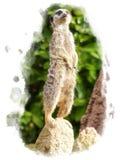 Προσεκτικό meerkat στη θέση παρατήρησης σε έναν βράχο Στοκ Εικόνες
