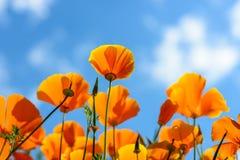 Προσιτότητα παπαρουνών Καλιφόρνιας έξω για τον ουρανό στοκ εικόνα