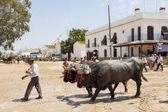 Προσκυνητής με τους ταύρους στη EL Rocio, Ισπανία Στοκ φωτογραφία με δικαίωμα ελεύθερης χρήσης