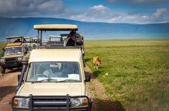 Προσοχή λιονταριών σαφάρι, Τανζανία Στοκ Φωτογραφίες