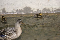 Προσοχή παπιών μητέρων μετά από τους νεοσσούς της στο νερό Στοκ Φωτογραφίες