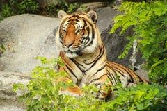 Προσοχή τιγρών Στοκ Φωτογραφίες