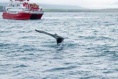 Προσοχή φαλαινών από Akureyri, Ισλανδία Φάλαινα στη φύση στοκ φωτογραφία με δικαίωμα ελεύθερης χρήσης