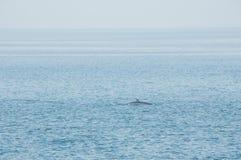 Προσοχή φαλαινών στον Καναδά στο βιότοπό του στοκ φωτογραφία με δικαίωμα ελεύθερης χρήσης