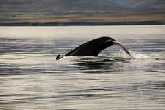 Προσοχή φαλαινών στο φιορδ στοκ φωτογραφία με δικαίωμα ελεύθερης χρήσης