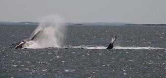 Προσοχή φαλαινών στο λιμένα κρουαζιέρας stephens, Αυστραλία Στοκ φωτογραφία με δικαίωμα ελεύθερης χρήσης