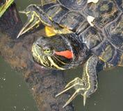 Προσοχή χελωνών κοσμήματος στον κλάδο Στοκ Εικόνες