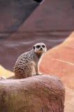 προσοχή 3 meerkat Στοκ εικόνα με δικαίωμα ελεύθερης χρήσης