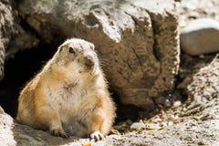 προσοχή groundhog Στοκ εικόνες με δικαίωμα ελεύθερης χρήσης