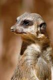 προσοχή suricata Στοκ φωτογραφία με δικαίωμα ελεύθερης χρήσης