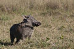 προσοχή warthog Στοκ Εικόνα