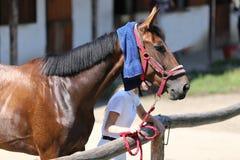 Προστασία ήλιων με το υγρό terrycloth στο κεφάλι μιας thoroughbred SP στοκ εικόνα