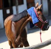 Προστασία ήλιων με το υγρό terrycloth στο κεφάλι μιας thoroughbred SP στοκ φωτογραφία με δικαίωμα ελεύθερης χρήσης