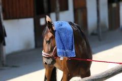 Προστασία ήλιων με το υγρό terrycloth στο κεφάλι μιας thoroughbred SP στοκ εικόνες με δικαίωμα ελεύθερης χρήσης