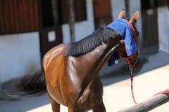 Προστασία ήλιων με το υγρό terrycloth στο κεφάλι μιας thoroughbred SP στοκ φωτογραφίες με δικαίωμα ελεύθερης χρήσης