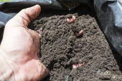 Προστασία σε έναν σάκο για τον οπωρώνα, τον κήπο ή τον τομέα Στοκ Εικόνα
