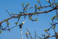 Προστασία του δέντρου μηλιάς από τη μυκητιακή ασθένεια ή vermin από την πίεση Στοκ Εικόνες