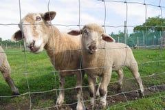 προστατευτικά πρόβατα μητέρων αρνιών Στοκ φωτογραφία με δικαίωμα ελεύθερης χρήσης