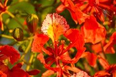 Προστατευόμενο δέντρο Delonix με τα κόκκινα ανθίζοντας λουλούδια στοκ φωτογραφίες με δικαίωμα ελεύθερης χρήσης