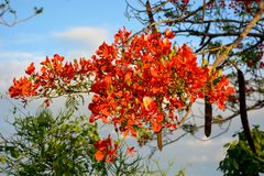 Προστατευόμενο δέντρο Delonix με τα κόκκινα ανθίζοντας λουλούδια στοκ φωτογραφία