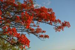 Προστατευόμενο δέντρο Delonix με τα κόκκινα ανθίζοντας λουλούδια στοκ φωτογραφία με δικαίωμα ελεύθερης χρήσης