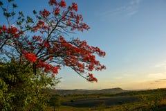 Προστατευόμενο δέντρο Delonix με τα κόκκινα ανθίζοντας λουλούδια στοκ εικόνα