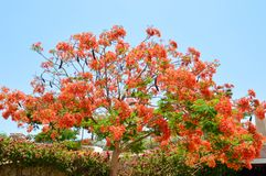 Προστατευόμενο δέντρο Delonix με τους κλάδους με τα κόκκινα ανθίζοντας λουλούδια, με τα πράσινα φύλλα σε ένα τροπικό θέρετρο ενάν στοκ εικόνα με δικαίωμα ελεύθερης χρήσης