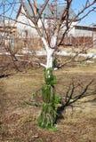 Προστατεύστε το δέντρο από τα τρωκτικά Στοκ Εικόνα